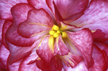 Pink dahlia detail von Danita Delimont
