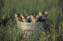 Eight-week-old kittens in a bucket; Maine Coon and tabby kittens von Danita Delimont