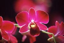 Orchid by Danita Delimont