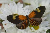 The Postman Butterfly von Danita Delimont