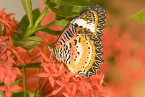 The Leopard Lacewing (Cethosia methypsea) by Danita Delimont