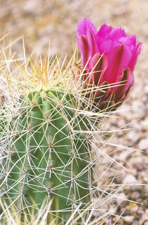 Strawberry Hedgehog Cactus (Echinocereus stramineus) by Danita Delimont
