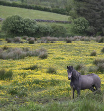 A horse stands in a bright field of yellow wildflowers von Danita Delimont