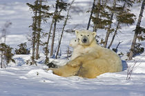 Polar bear cub playing with a watchful mother by Danita Delimont