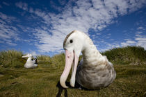 Curious Wandering Albatross (Diomedea exulans) approaches camera lens near nesting site on Prion Island by Danita Delimont