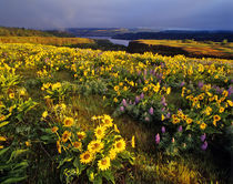 Spring wildflowers in abundance at the Tom McCall Preserve in Oregon von Danita Delimont