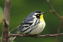 Yellow-throated Warbler (Dendroica dominica) von Danita Delimont