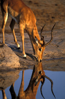 Bull Impala (Aepyceros melampus) is reflected while drinking from water hole in Savuti Marsh by Danita Delimont