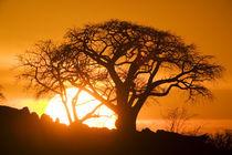 Setting sun silhouettes Baobab Trees (Adansonia digitata) on Kubu Island on Makgadikgadi Pan in Kalahari Desert von Danita Delimont