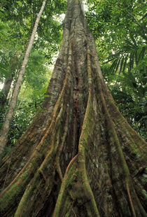 Buttressed tree in the rainforest by Danita Delimont