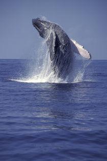 Humpback whale breaching (Megaptera novaeangliae) by Danita Delimont