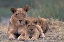Lions by Danita Delimont