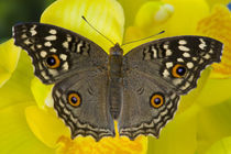 Sammamish Washington Tropical Butterfly photograph of Junonia lemonias the Lemon Pansy Butterfly from Asia on yellow Orchid by Danita Delimont