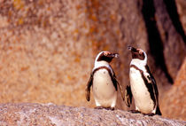 Jackass Penguins (Phalacrocorax capensis) on the rocks by Danita Delimont