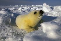Harp Seal (phoca groenlandica) pup by Danita Delimont