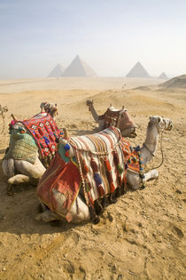 Resting camels gaze across the desert sands of Giza to the famed Egyptian pyramids outside Cairo von Danita Delimont