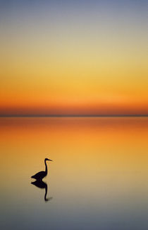 Great Blue Heron at sunset by Danita Delimont