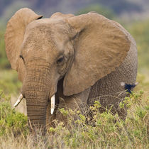 Elephant at Samburu NP von Danita Delimont