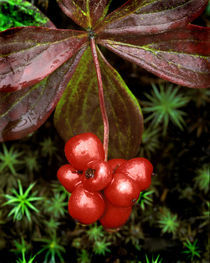 Detail of leaves and bright red berries of the Canadian bunchberry von Danita Delimont