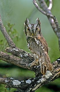 Eastern screech owl perched in lichen-covered mesquite tree von Danita Delimont
