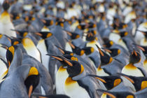 King penguin (Aptenodytes patagonicus) colony by Danita Delimont