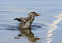 Red-necked Grebe (Podiceps grisegena) chick stretching its wings by Danita Delimont