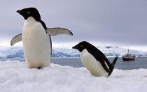 Pair Adelie penguins Antarctica by Danita Delimont