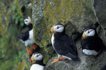 Horned puffins (Fratercula corniculata) by Danita Delimont