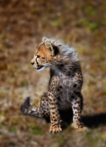 Cheetah (Acinonyx Jubatus) as seen in the Masai Mara by Danita Delimont