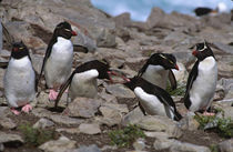 Rockhopper Penguins (Eudyptes chrysocome) exhibiting their usual aggressive behavior von Danita Delimont