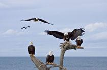 Six Bald Eagles (Haliaeetus leucocephalus) von Danita Delimont