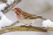 Detail of male Cassin's finch perched on branch by Danita Delimont