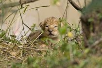 Two week old baby lion cubs with mother beside them in the Maasai Mara Kenya by Danita Delimont