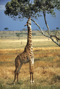 Giraffe browses on tree leaves in Amboseli National Park in Kenya von Danita Delimont
