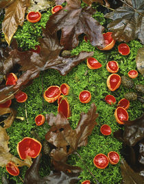 Scarlet cup fungi on bed of moss on forest floor von Danita Delimont