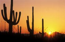 Saguaro Sunset by Danita Delimont