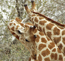 Two Giraffes in bushes in the west african savanna von Danita Delimont