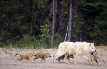 Wild gray wolf alpha male and pups in taiga forest by Danita Delimont