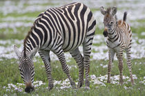 Zebra mother and colt at Ngorongoro Crater in the Ngorongoro Conservation Area von Danita Delimont