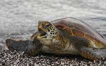 Young Pacific green turtle on rocky beach by Danita Delimont
