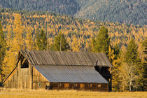 Old wooden barn with autumn tamaracks near Whitefish Montana von Danita Delimont