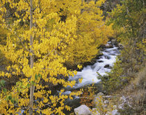 Bishop Creek and aspen trees in autumn by Danita Delimont