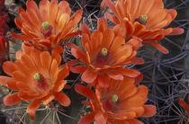 Claret Cup cactus flowers by Danita Delimont