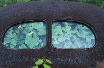 Vintage Oldsmobile car in decay with vines growing in and around it by Danita Delimont