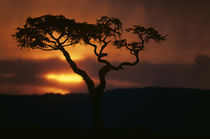 Setting sun silhouettes lone acacia tree during afternoon rain storm over escarpment by Danita Delimont