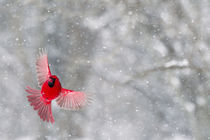 A male cardinal with wings spread in flight against a snowy background von Danita Delimont
