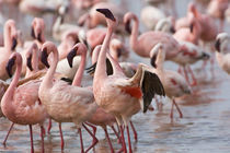Flamingos wade in shallow water of Lake Nakuru to feed on algae by Danita Delimont