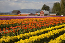 At Tulip Towne by Danita Delimont