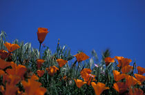 California Poppies by Danita Delimont