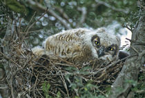 Close-up of great horned owl chick on nest by Danita Delimont